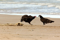Turkey Vulture Claiming Ownership of a Dead Lake Sturgeon