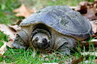 Female Common Snapping Turtle