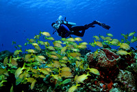 School of Grunts and Diver - Cozumel