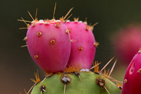 4 Stock Prickly Pear 357