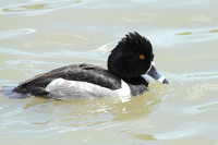 Ring-necked Duck Drake - Texas