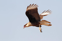 Immature Crested Caracara in Flight - Texas