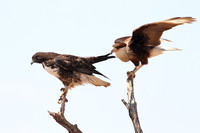 Crested Caracara Tugging on the Wing of a White-tailed Hawk - Texas