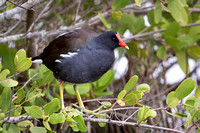 Common Gallinule Perched in a Florida Mangrove