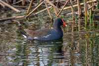 Common Gallinule - Florida