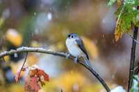 Tufted Titmouse in a Snow Storm in October