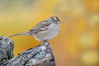 Juvenile White-crowned Sparrow - Grand Bend, ON