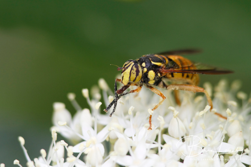 Hover Fly Pollinatiing an Alternate-leaved Dogwood