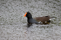 Common Gallinule Swimming in a Florida Marsh