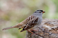 White-crowned Sparrow perched on a tree stump