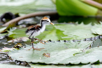 Baby Wattled Jacana Walking on a Lily Pad - Panama