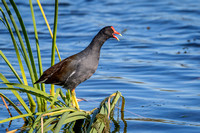 Common Gallinule Perched in Vegetation at the Edge of a Florida
