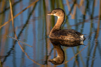 Pied-billed Grebe - Florida
