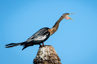 Female Anhinga Calling With Its Throat Pouch Extended - Florida