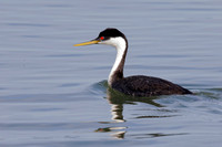 Western Grebe swimming in an estuary - Monterey Peninsula, Calif