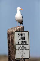 California Gull perched on a speed limit sign in Monterey
