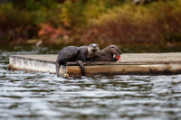North American River Otters on a Dock