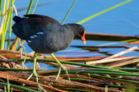 Common Gallinule - Melbourne, Flo