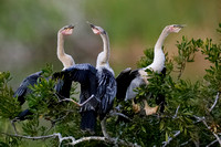 Three Anhinga fledglings waiitng to be fed by a parent -  Florid