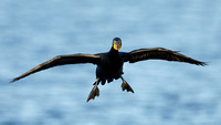 Double-crested Cormorant (Phalacrocorax auritus) preparing to la