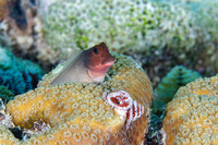 Redlip Blenny peering out from behind a coral head