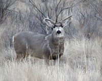 Male Mule Deer  with antlers damaged from fighting