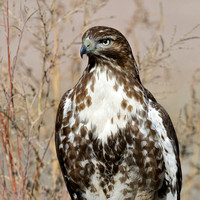 Juvenile Red-tailed Hawk - Bosque del Apache NWR, New Mexico
