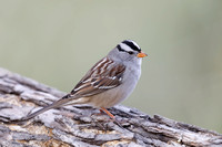 White-crowned Sparrow perched on a log - New Mexico