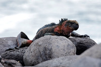 Marine Iguana basking on a rock in the Galapagos