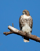 Juvenile Red-tailed Hawk perched on a dead branch