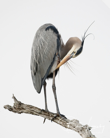Great Blue Heron preening its feathers