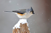 Tufted Titmouse - Grand Bend, ON