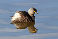 Least grebe - Texas