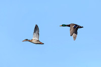 Pair of Mallards in Flight