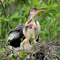 Female American Anhinga with Young at Nest - Everglades National