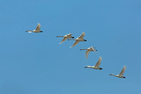 Tundra swans (Cygnus columbianus) flying in formation