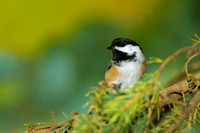 Black-capped Chickadee in a Spruce Tree