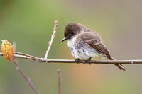 Eastern Phoebe Perched on a Branch