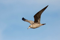 Immature Herring Gull in Flight