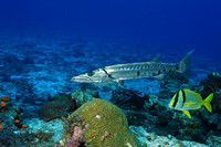 Barracuda and Porkfish