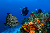 Black Grouper and Diver - Cozumel