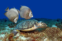 Hawksbill Turtle (Eretmochelys imbricata) with a Pair of Gray Angelfish