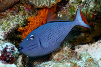 Filefish and Triggerfish