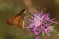 Skipper on Spotted Knapweed