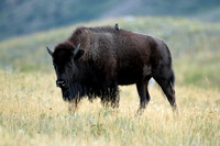 Plains Bison (American bison)
