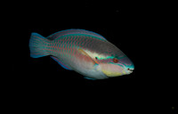 Striped Parrotfish