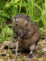 "Muskrat ""Walking With a Cane"""
