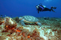 Hawksbill Turtle (Eretmochelys imbricata) and Diver