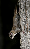 Flying Squirrel 083