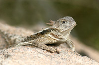 Southwest Lizards